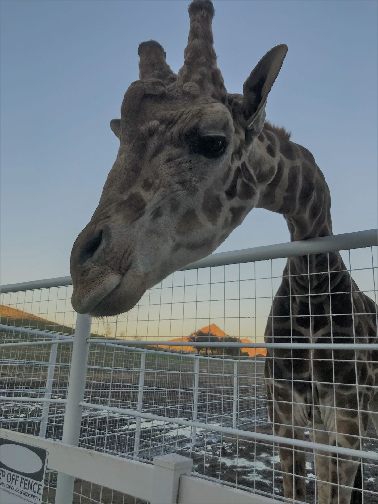 Stanley the Giraffe, a retired movie animal actor and resident celebrity at Malibu Wines Safari